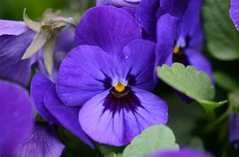 state flower of new jersey new jersey violet state flowers pinterest