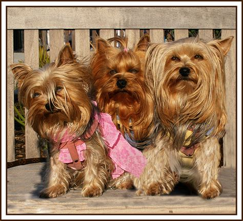 why does my yorkie in the house lightcafe net view topic yorkies