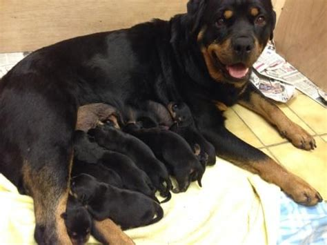 17 week rottweiler 17 best images about rottweilers on beautiful dogs studs and