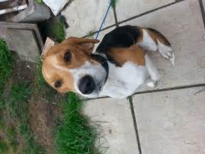 Dogs For Sale In Beagle For Sale Eye Suffolk Pets4homes