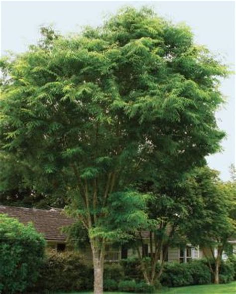 Green Vase Zelkova Problems by Fast Growing Trees For Impatient Gardeners Gardening