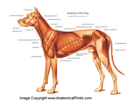 muscular dogs canine chart clinical charts and supplies