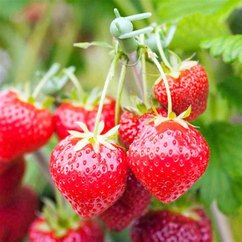Strawberry Plant Hecker Strawberry Plants Images
