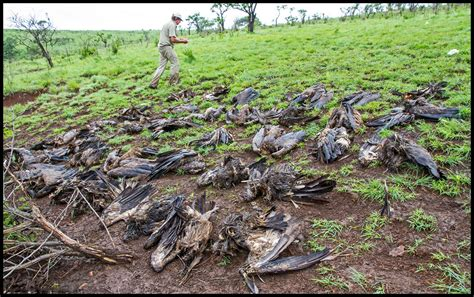 Furadan Cabe 1 500 poisoned vultures since may vultures now targeted