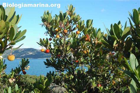 fiori macchia mediterranea corbezzolo biologia marina mediterraneo