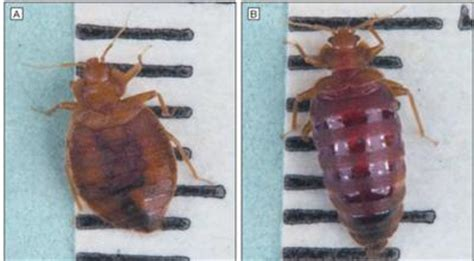 bed bug after feeding giant bed bug