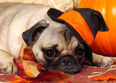 baby pug costume pug costume pug costume baby pugs pugs pug pugs