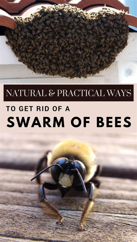 how to get rid of a swarm of bees practical ways to get rid of a swarm of bees