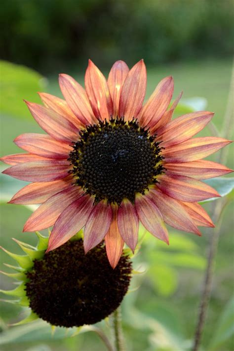 yellow and pink sunflowers flower best 25 pink sunflowers ideas on