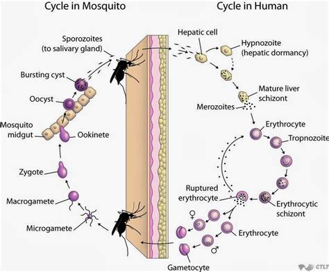 pathophysiology of leptospirosis diagram malaria cycle diagram malaria mosquito elsavadorla
