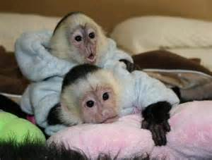 where can i buy a small monkey adopt a finger monkey in uk