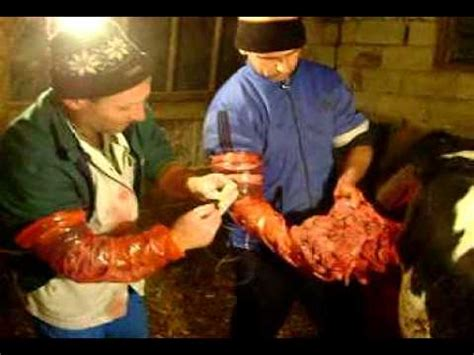 surgery games c section full download cesarean section in a cow part 2