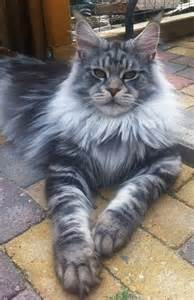 the stunning maine coon the largest breed of domestic cat