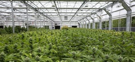 Companies That Help Find Marijuana Growers And Greenhouse Companies Help Each Other Find A Place In The Sun