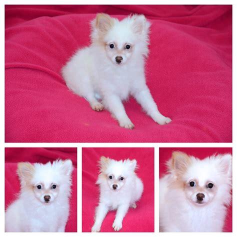 puppy kisses danbury paperanian id 5679a