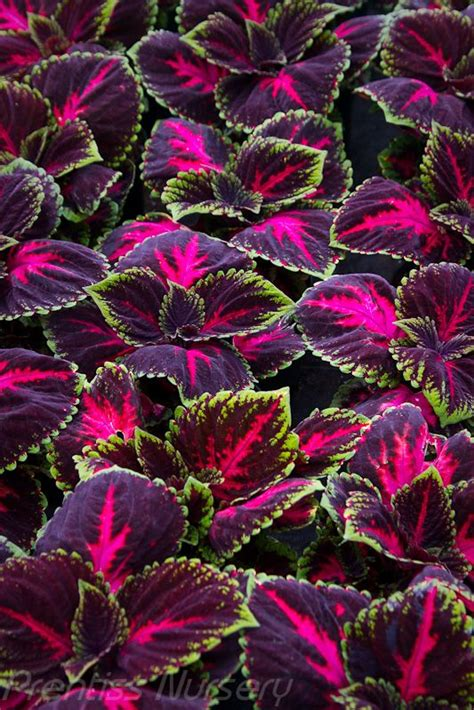 47 best images about foliage coleus on pinterest scarlet shade garden and shade plants