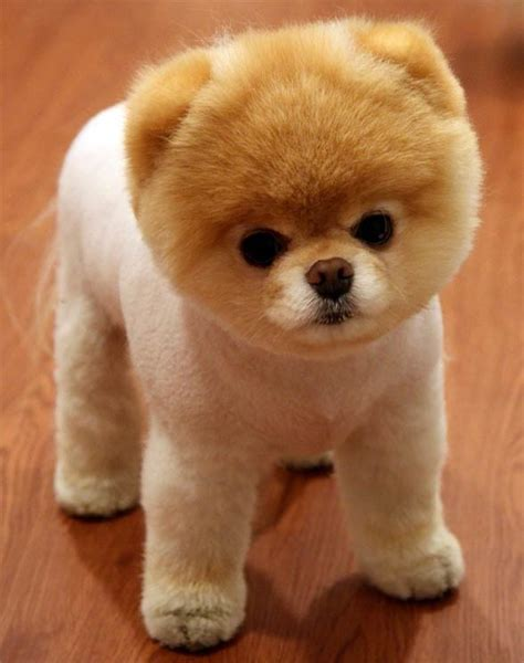 hair loss in pomeranian dogs pomeranian the cutest dinoanimals
