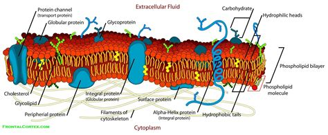 cell membrane labeled diagram cell membrane detailed diagram labeled