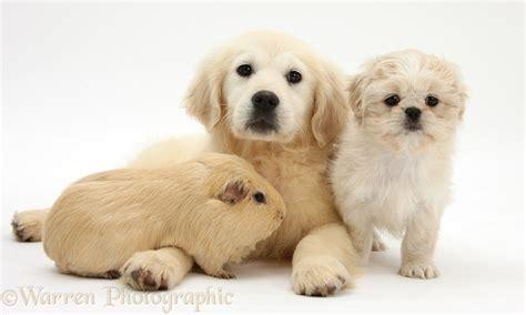 golden retriever and shih tzu pets golden retriever pup shih tzu pup and guinea pig photo wp27704