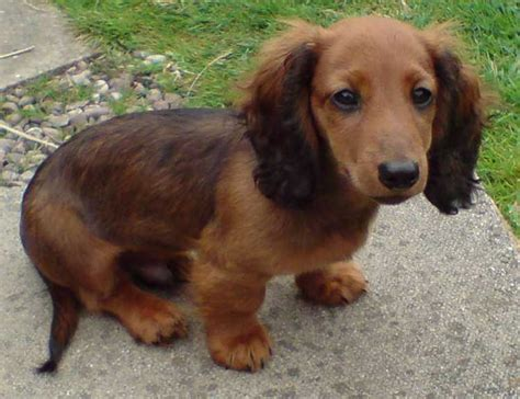mini longhaired dachshund puppies black and haired dachshund puppy breeds picture