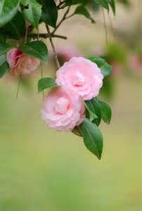 Gardenia Or Camellia 1000 Images About Camellias And Gardenias On