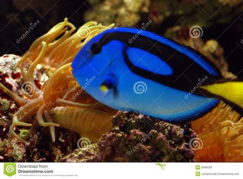 blue angelfish  gold anemone royalty  stock images