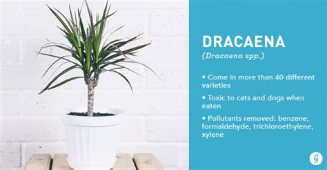 air purifying plants  air cleaning houseplants