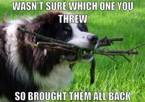 Border Collie Meme - show us your un gif images and image macros that are