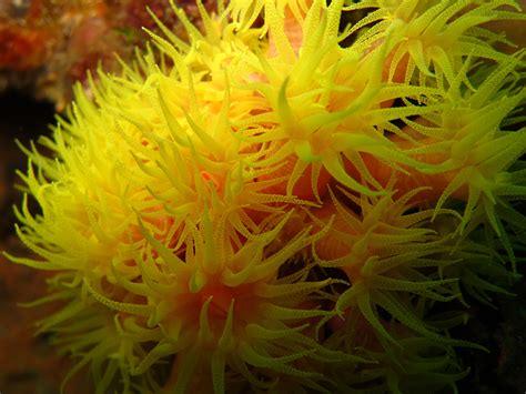 Cop Coral invasive cup coral flower garden banks national marine