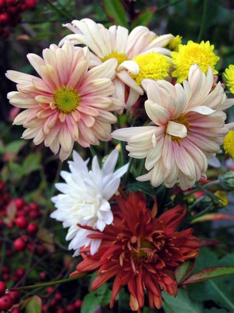mums flower are mums perennials hgtv
