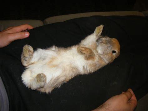 le lapin fiche hamsters cochons d inde lapins