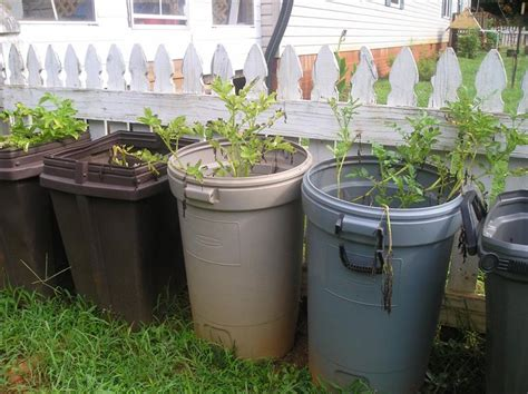 growing potatoes in trash cans harvest outcome new life