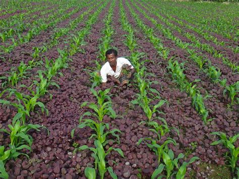 intercropping  bangladesh flickr photo sharing