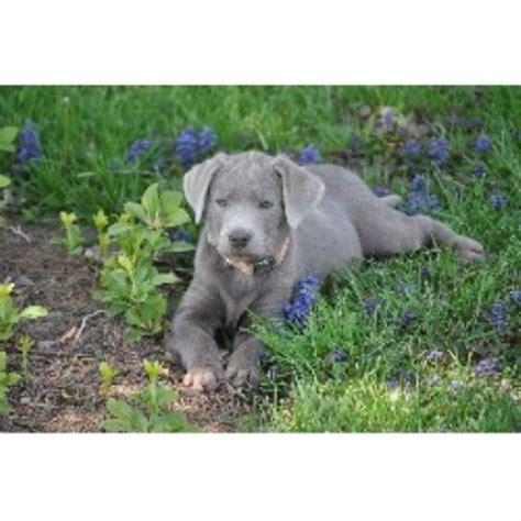 silver lab puppies for sale in michigan silver mist labradors labrador retriever breeder in jackson ohio