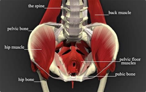 Pelvic Floor Muscles by Pilates Posture Purposeful Movement Just Another