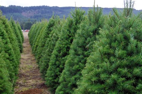 where to cut a x mas tree ri the ultimate guide to u cut tree farms portland monthly