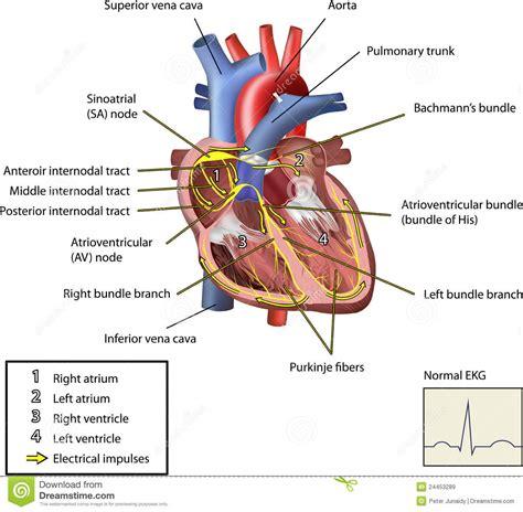 sistema filiali il sistema elettrico cuore illustrazione vettoriale