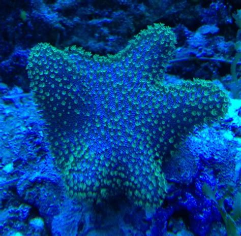 coral of the week neon green polyp toadstool sarcophyton