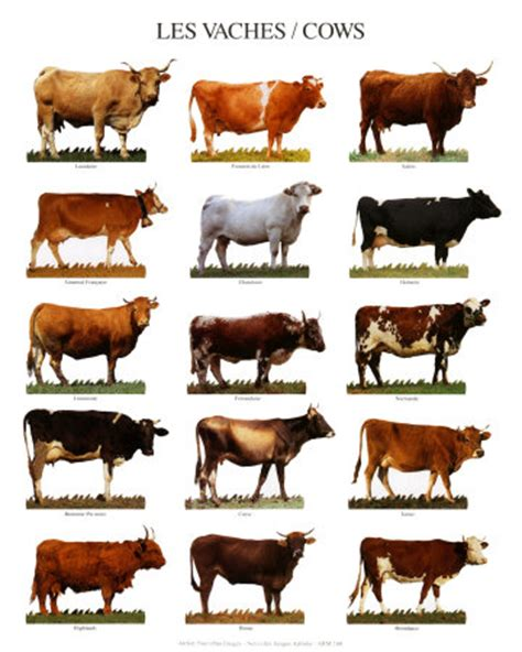 cow breeds breeds of cows with cow pictures d l