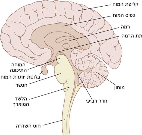 brain sagittal section file brain sagittal png