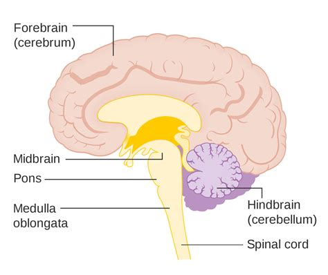 diagram of forebrain human brain structure and functions of human brain