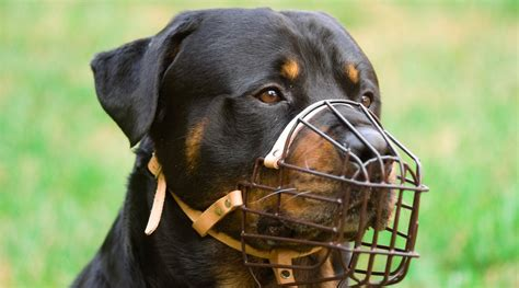 are rottweilers dangerous dogs surrey introduces 1 000 fines for unmuzzled dangerous dogs daily hive vancouver