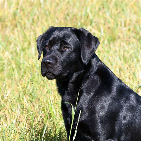 golden retriever and black lab black labrador retriever lotte golden retriever labrador flickr