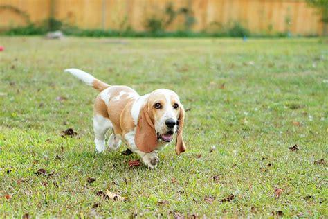 lemon basset hound puppies louie the lemon basset hound puppy 12 kevin amanda