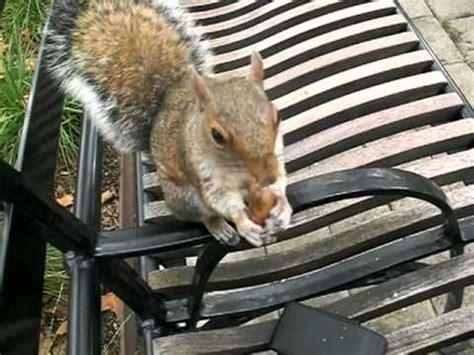 squirrel hides nut in wally the squirrel still hiding nuts in jax s fur doovi