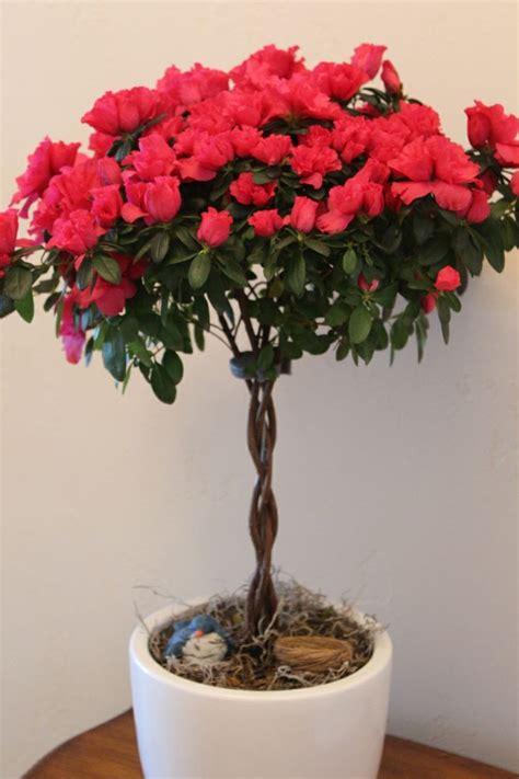 red azalea topiary houseplants beautiful for xmas care