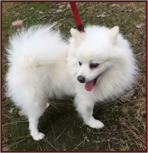 pomeranian for adoption in va adopt a white pomeranian spitz unknown type small mixed in white
