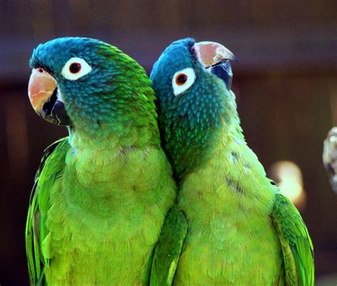 green conures south america birds and parrots pinterest