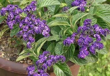 Increíble  Plantas Para Mucho Sol #6: Heliotropo.jpg