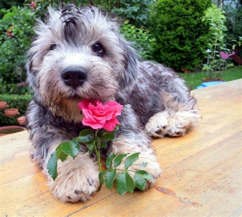puppy dandie dinmont terrier puppy for your birthday 9 best small dogs dandie dinmont terrier images on